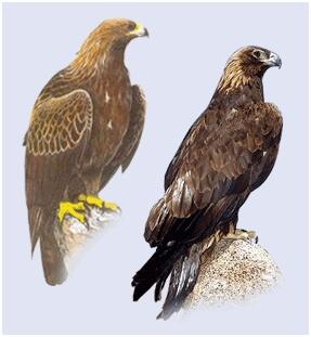 Орел беркут