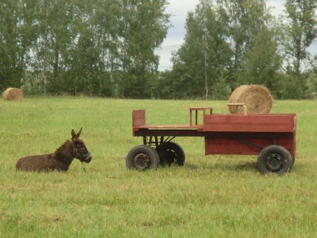 Вот я в траве лежу рядом с телегой. Когда есть какая-нибудь хозяйственная надобность, я даю указания, и Маня на этой телеге всё привозит.