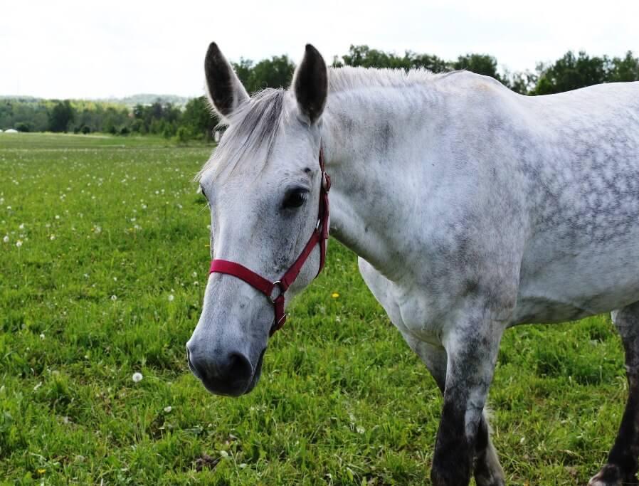Вета - рысистая лошадка