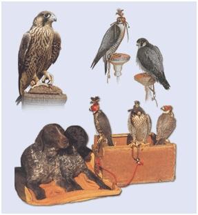 Существует много видов соколов. Различия между птицами огромны даже внутри одного вида