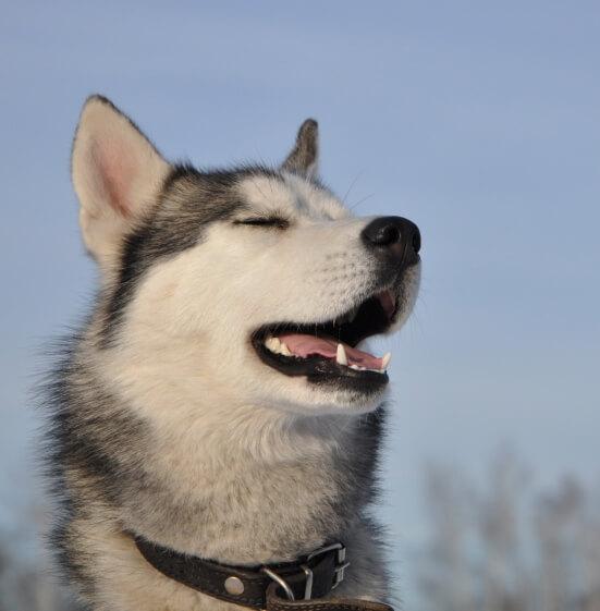Кани-кросс для детей с хаски и другими охотничьими собаками в экопарке Сокольник
