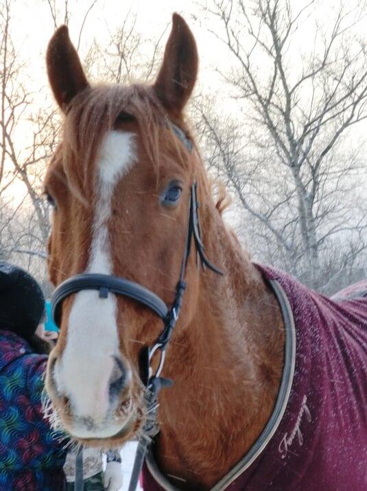 Мерин на конюшне Сокольника